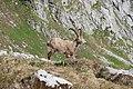 Ibex - panoramio (5).jpg