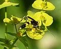 Ichneumon Wasp (31926742520).jpg