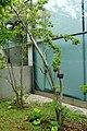 Ilex pedunculosa - Kokugakuin University - Shibuya, Tokyo, Japan - DSC05533.jpg