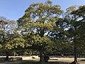 Ilex rotunda in Hiroshima Castle.jpg