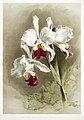 Illustration from Reichenbachia Orchids by Frederick Sander, digitally enhanced by rawpixel-com 124.jpg