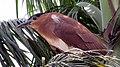 Immature Black Crowned Night Heron in Pasay 002.jpg