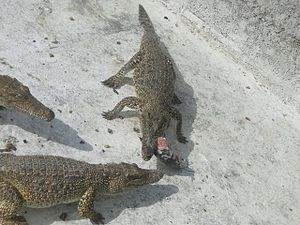 Zapata Swamp - Image: In crocodile farm