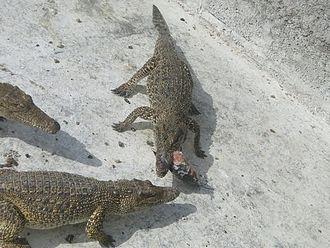 Zapata Swamp - Image: In crocodile farm