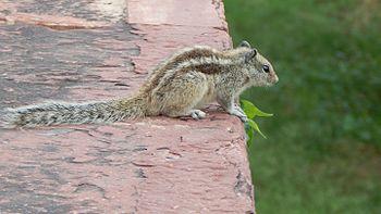 India's Squirrel.jpg