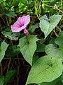 Ipomoea walpersiana (Convolvulaceae ) 01.jpg