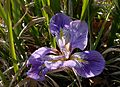 Iris unguicularis 170208.jpg