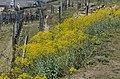 Isatis tinctoria Wachau.jpg