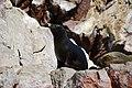 Islas Ballestas - tuleň - panoramio (1).jpg