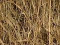 Jack Snipe (Lymnocryptes minima) - geograph.org.uk - 604645.jpg