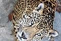 Jaguar-zhivotnoe.jpg