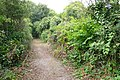 Japanese Knotweed on Bridle Path at Tolpuddle - geograph.org.uk - 905627.jpg