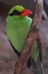 Javan Green Magpie at Chester Zoo.png
