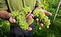 Javier shows part of the grape harvest in his Lysekil vineyard 1.jpg