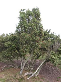<i>Juniperus communis</i> species of conifer in the cypress family Cupressaceae