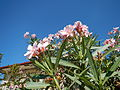 JfPink flowers in the Philippinesfvf 04.JPG