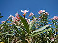 JfPink flowers in the Philippinesfvf 06.JPG