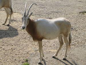 Paris Zoological Park - Oryx dammah at Vincennes Zoo