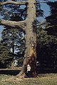 Joan Blair by burnt bole of mighty Cedrus atlantica (37497603830).jpg