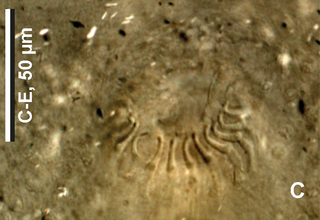 <i>Lethacotyle fijiensis</i> species of worm