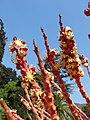 Jubaea chilensis Flores masculinas (Fundación JBN de Viña del Mar) 001.jpg