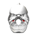 Jugular process of occipital bone07.png