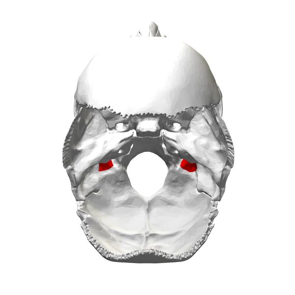 Jugular Notch Occipital Bone File:Jugular pro...