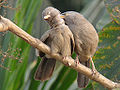 Jungle Babbler by Nabarun.jpg