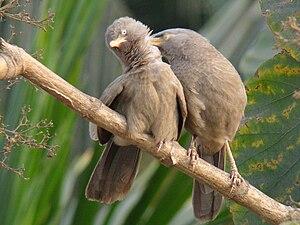 Jungle babbler - Nominate race from Kolkata allopreening
