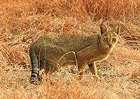 Jungle Cat Felis chaus by Dr. Raju Kasambe DSCN7957 (3)