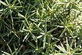 Juniperus oxycedrus foliage detail.jpg