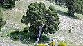 Juniperus thurifera. Xinebru turíferu.jpg