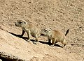 Juvenile black-tailed prairie dogs.jpg