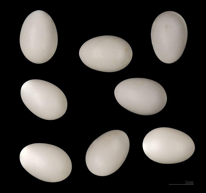 Krutihlav hnedý - vajíčka