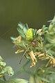 Kürbisspinne (Araniella cucurbitina) in seitlicher Ansicht.JPG