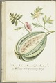 KITLV - 37A45 - Markée, Cornelis - Watermelon with leaves and butterfly - Brush drawing - Circa 1763.tif