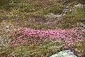 Kalmia procumbens greplyng IMG 3432 norefjell.jpg