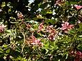 Kanchan tree Bauhinia variegata by Dr. Raju Kasambe DSCN0979 (4).jpg