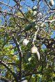 Kapok Tree g Madeira (33191200641).jpg
