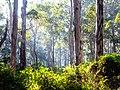 Karri trees - Boranup Forest 02.jpg