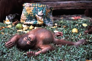 Borneo - The critically endangered Bornean orangutan, a great ape endemic to Borneo.