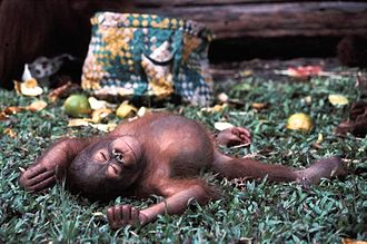 Borneo - The critically endangered Bornean orangutan, a great ape endemic to Borneo