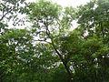 Khadiramu (Telugu- ఖదిరము) (1080411217).jpg