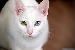 Кот породы као мани