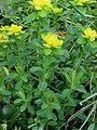Kleurige wolfsmelk Euphorbia polychroma plant.jpg