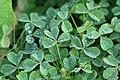 Kluse - Oxalis tuberosa 06 ies.jpg