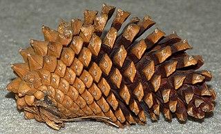 Knobcone pine species of plant, Knobcone Pine