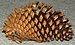 75px knobcone pine cone