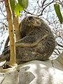Koala bear Australia (22505362794).jpg