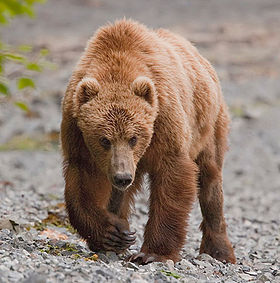 Kodiak bear uyak bay.jpg